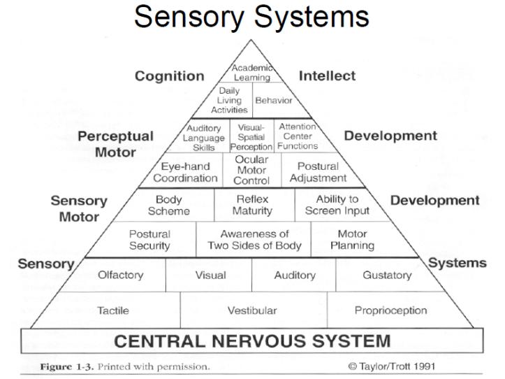 sensory sistem.png