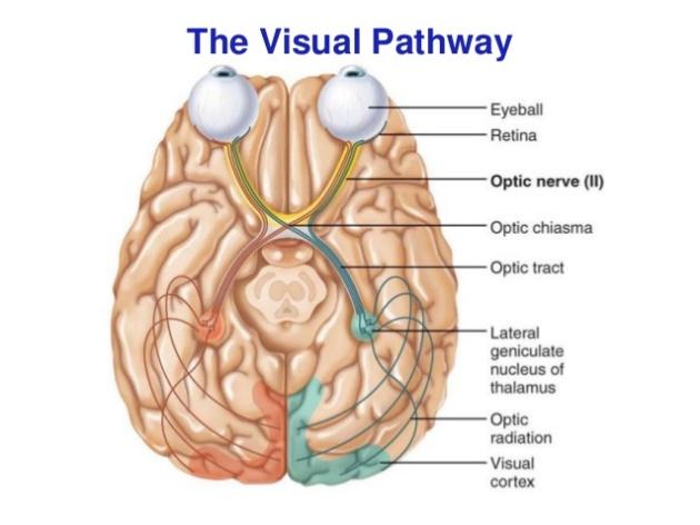 afferent-visual-pathway-5-638