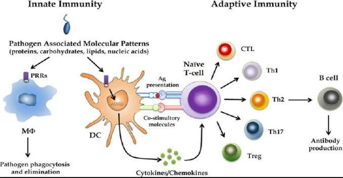 kekebalan tubuh tingkat sel