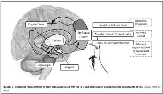 EF brain